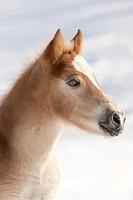Haflinger Horse. Portrait of a foal