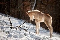 Haflinger Horse. Foals stretching on a snowy meadow