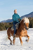 Haflinger Horse. The stallion Atlas with rider trotting on a snowy meadow