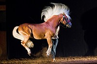 Haflinger Horse. The stallion Atlas performing a capriole