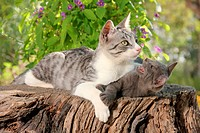 Domestic Cat. Mother holding down kitten (71 days old) with a front paw while lying on a tree stump. Kitten protesting against its mother