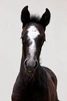 Lipizzan Horse. Portrait of a foal
