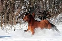 Hucul Pony, Carpathian Pony, Huzul galopping on a snowy meadow, Huzul horse galloping through the snow, Tabun Stud, Poland 2011