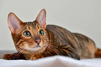 Domestic Cat, Toyger. Tomcat lying