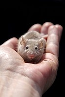 Fancy Mouse (Mus musculus) in a hand
