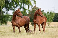 Frederiksborger. Two mares standing on a pasture