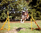 Mixed-breed dog (Canis lupus familiaris). Adult leaping over a hurdle in an agility course