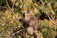 Black Snub-nosed Monkey (Rhinopithecus bieti) sitting on a branch