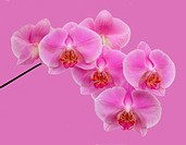 Spray of pink phalaenopsis orchid flowers on pink background.