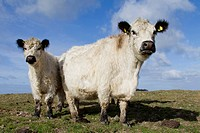Domestic Cattle, White Galloway. Cow and calf on a pasture