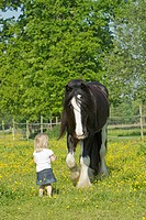 Little girl and Shire Horse on a flowering meadow