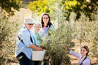 Family picking olives in grove