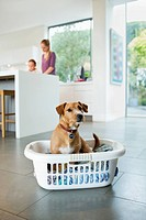Dog sitting in laundry basket in kitchen