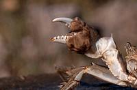 DEU, 2009: Chinese Mitten Crab (Eriocheir sinensis), hairy claw.