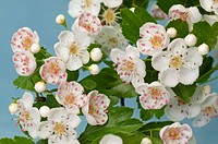 DEU, 2009: Hawthorn (Crataegus sp.), flowers.
