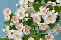 DEU, 2009: Hawthorn (Crataegus sp.), flowers.