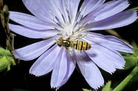 DEU, 2006: Hoverfly, Hover Fly, Syrphid Fly, Flower Fly (Episyrphus balteatus) on flower.
