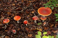 Fly Agaric (Amanita muscaria), group on the forest floor