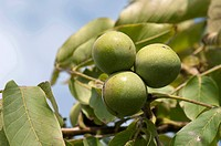 English Walnut, Persian Walnut (Juglans regia). Unripe fruit on a tree
