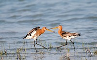 AUT, 2010: YBlack-tailed Godwit (Limosa limosa) squabbling at their territorial boundary. National Park Neusiedler See-Seewinkel, Austria.
