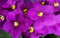 DEU, 2010: Saintpaulia, African Violet (Saintpaulia ionantha-Hybride), purpleflowers.