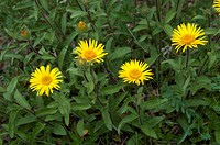 Yellowhead (Inula hirta), flowering