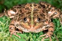 DEU, 2003: European Edible Frog (Rana esculenta), portrait.