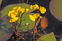 DEU, 2007: Common Bladderwort, Greater Bladderwort (Utricularia vulgaris), flowering.