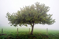 An apple tree in the fog, La Creuse, Limousin, France