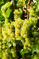 Vineyards, grapevines in Edenkoben, German Wine Route, Palatine wine, Palatinate Forest Nature Reserve, Rhineland-Palatinate, Germany, Europe