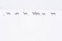 Roe Deer, Lower Saxony, Germany / (Capreolus capreolus)