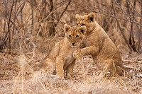 young lions (Panthera leo)