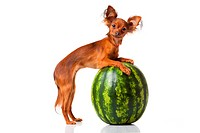 Russian toy terrier dog