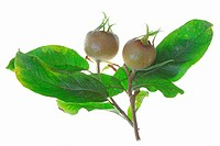 Common medlar (Mespilus germanica)