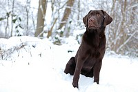 a young labrador dog sitting in snow in a park in Germany