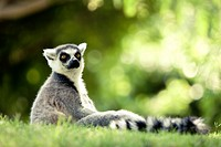Lemur in captivity, Bioparc Valencia, Spain