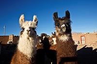 alpaca in villa alota in bolivia