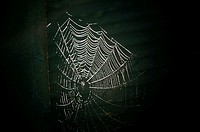 "A spider web, spiderweb, spider's web or cobweb (from the obsolete word coppe, meaning """"spider"""") is a device built by a spider out of proteinaceous ..."