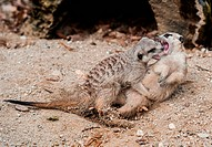 Young Meerkats received the most votes as the best cubs from the visitors of Zoo Liberec. Small beasts grow from 25 to 35 cm and they are registered i...