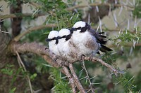Northern White-crowned Shrike (Eurocephalus rueppelli) three adults, perched together on branch, Serengeti N.P., Tanzania, December