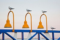 Australia, Northern Territory, Darwin, sae gulls on Stokes Hill Wharf