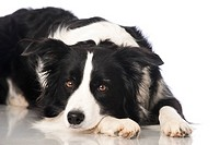 Boder collie dog