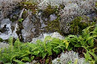 common polypody (Polypodium vulgare), with Reindeer Lichen on a rock, Cladonia rangiferina, Sweden, Smaeland