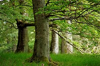 common beech (Fagus sylvatica), beech forest in the Kellerwald-Edersee National Park, Germany, Hesse, Nationalpark Kellerwald