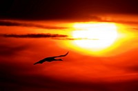 Common crane, Eurasian Crane (Grus grus), crane flying at sunset, Germany, Mecklenburg-Western Pomerania