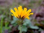 hawkweed oxtongue (Picris hieracioides), inflorescence, Germany