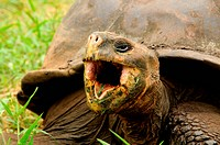 hungry giant tortoise