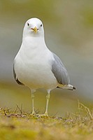 mew gull (Larus canus), standing on mossy rock