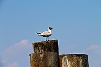 migratory swallow tailed Galapagos gull, stood on mooring post Italy