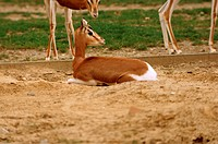 Mhorr gazelle (Gazella dama mhorr), young animal in the zoo